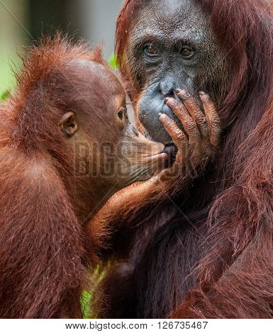A Female Of The Orangutan With A Cub In A Native Habitat.the Cub Of The Orangutan Kisses Mum. Borneo