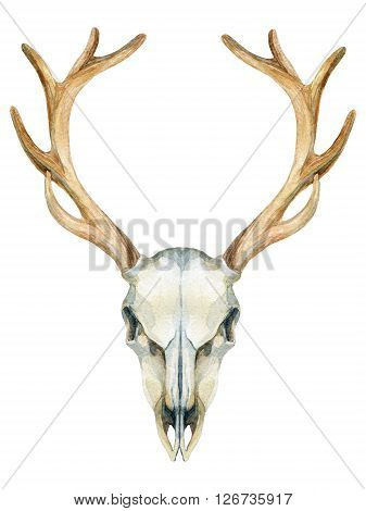 Deer skull. Animal skull isolated on white background. Watercolor hand painted illustration.