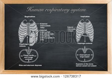 didactic board of anatomy of Human respiratory system