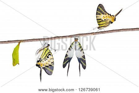 Isolated five bar swordtail butterfly life cycle with clipping ptah (antiphates pompilius)