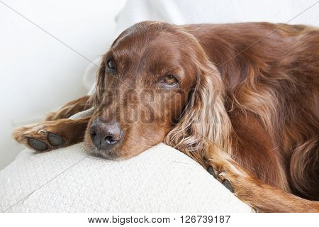 Portrait of the Irish setter breed dog sitting on a white chair.