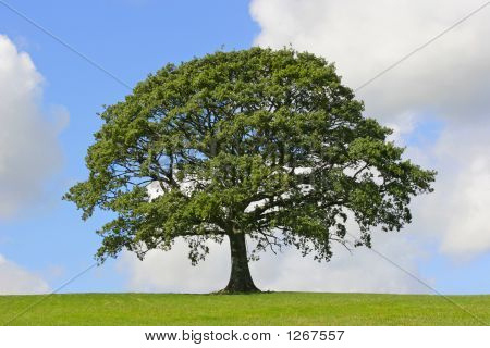 oak tree in full leaf standing alone in a field in summer against a blue sky with cumulus clouds. poster