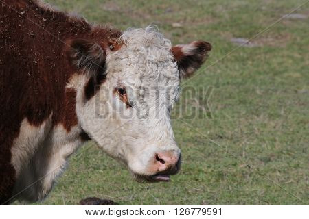 Hereford cow in pasture, head and neck area showing