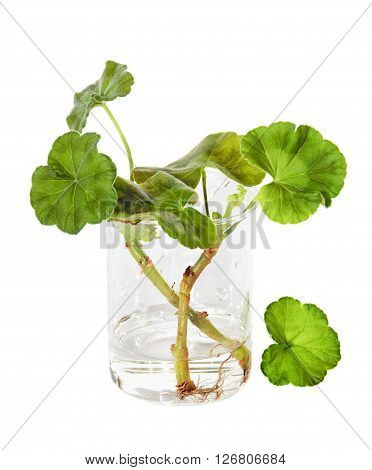The widespread proliferation method of growing of geranium cuttings