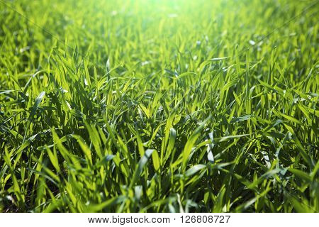 Close Up Fresh Grass With Water Drops In The Morning