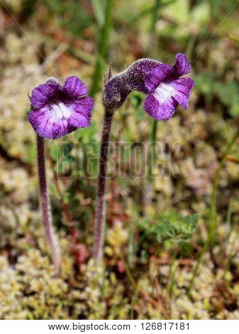 Naked Broomrape (Orobanche uniflora), an oddball parasitic plant