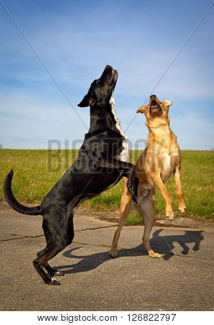 Two silly mutts playing and leaping up at same time on hind legs for a ball