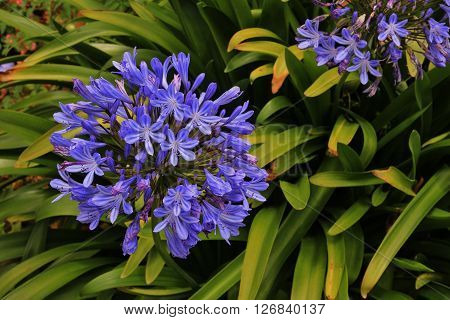 Agapanthus. African lily. Popular garden flower. Photographed in New Zealand.