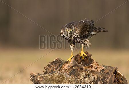 Northern Goshwak (accipiter Gentilis)