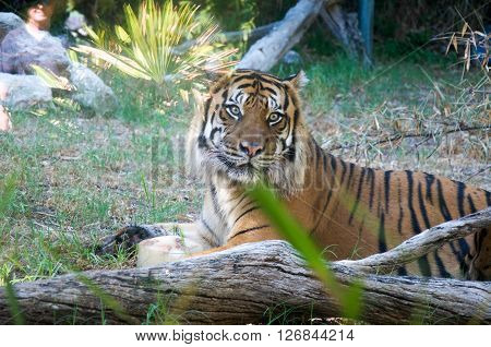 PERTH,WA,AUSTRALIA-MARCH 20,2016: Sumatran Tiger in outdoor enclosure at the Perth Zoo in Perth, Western Australia ** Note: Soft Focus at 100%, best at smaller sizes