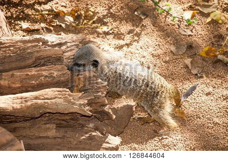 PERTH,WA,AUSTRALIA-MARCH 20,2016: Burrowing Meerkat at the outdoor enclosure at the Perth Zoo in Perth, Western Australia.