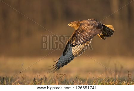 Common buzzard (Buteo buteo) in natural habitat