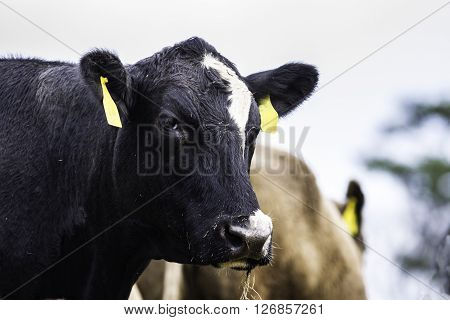 Head and neck profile of a black Angus crossbred cow with white markings on her face with another cow in the background