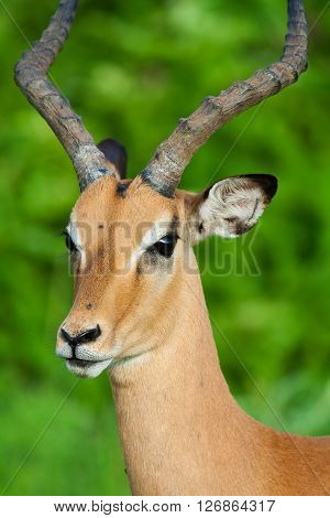 Cose up of a wild African Impala antelope