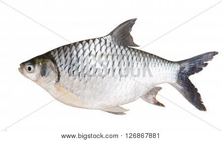 Freshwater fishes isolate on white with clipping path susceptible host of opisthorchis viverrini poster
