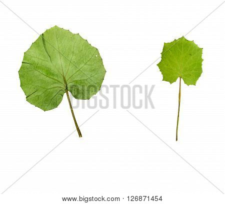 Pressed and dried leaf coltsfoot (foalfoot tussilago farfara) isolated on white background.