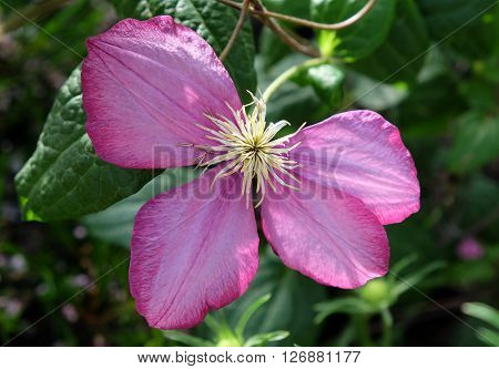 Beautiful pink flower of decorative liana clematis