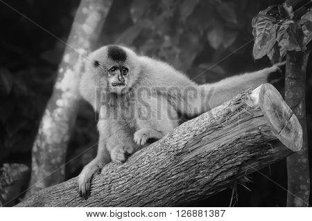 Yellow-cheeked gibbon female Nomascus gabriellae, Singapore zoo poster