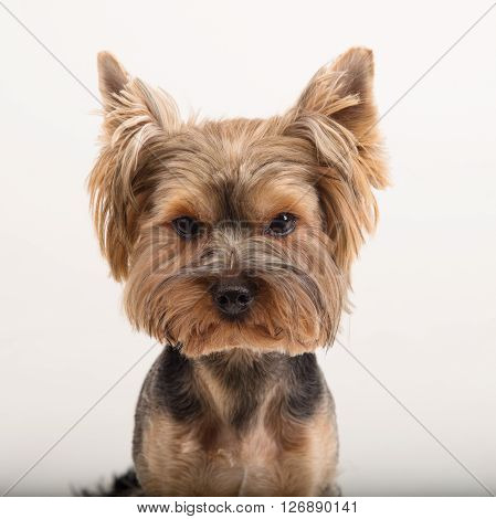York terrier dog breed. Cute little yorkshire terrier white background. Yorkshire terrier looking at the camera in a head shot against a white background. Beautiful Yorkshire terrier. Training.