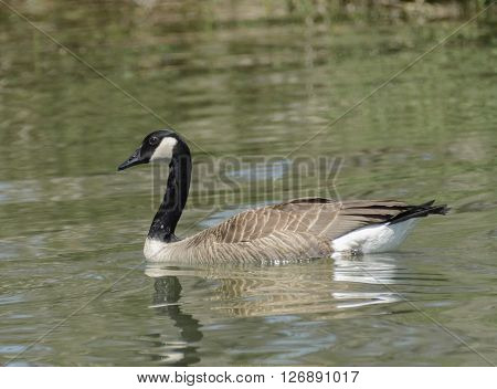 A Canada Goose (Branta canadensis)  shown in left profile, swimming on a lake.