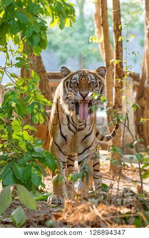 Indochinese Tiger Facial Expression