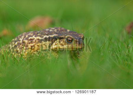 Common toad (Bufu bufo) in green blurred grass