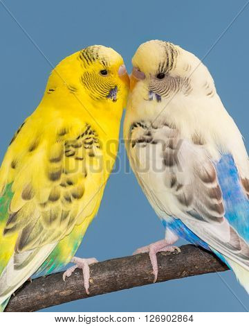 Pair of parakeets touching beaks while perched on bare branch against blue sky