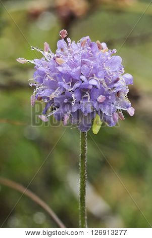 Devils-bit Scabious - Succisa pratensis With Morning dew