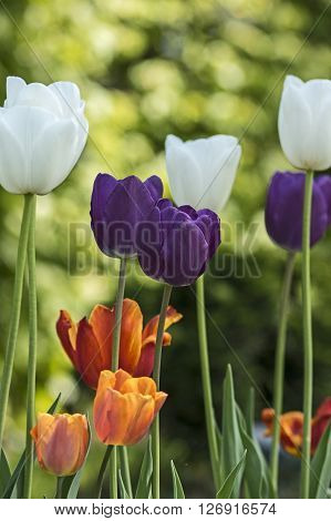 Purple, White, red and yellow tulips in spring