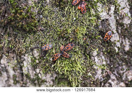 A heap of firebugs on green moss