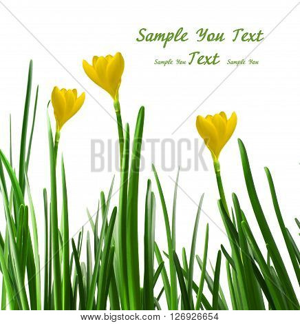A yellow crocuses on a white background