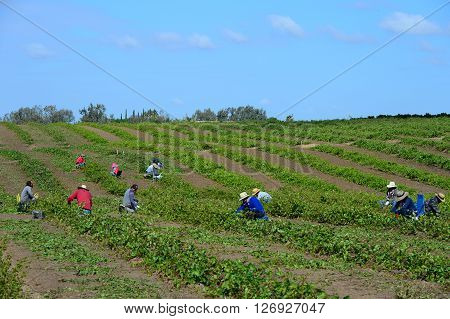 KERN COUNTY, CA - APRIL 23, 2016: Mexican-American farm workers set up in the early morning for a day of clipping, pruning and culling grape plants in a San Joaquin Valley vineyard.