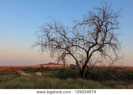 Singe tree without leaves and grasslands landscape. Baskunchak Bogdo summer evening