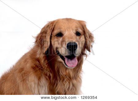 Happy Golden Retriever Dog