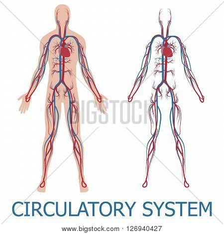 human circulatory system. vector illustration of blood circulation in human body poster