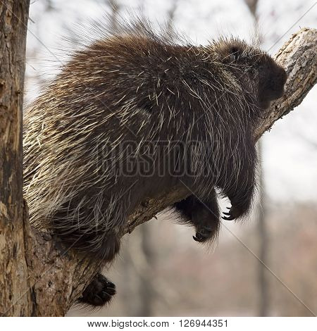 Square image of a North American Porcupine balancing on a tree limb, sleeping.