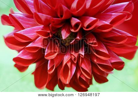 Blooming bright red Dahlia on a light background.