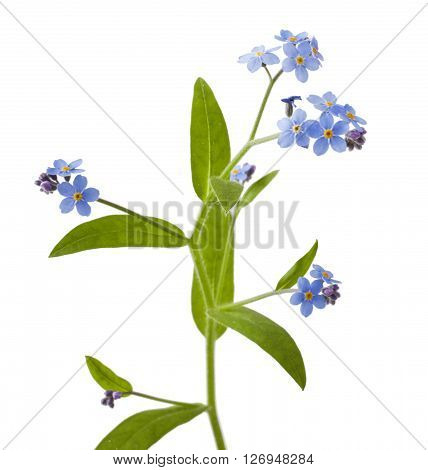 Spring flowers on a white background .Forget-me-not.