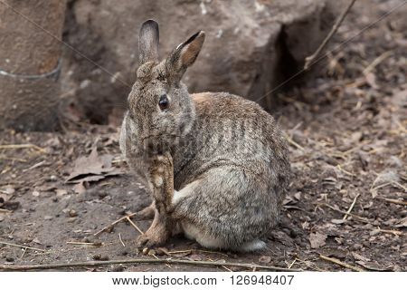 European rabbit (Oryctolagus cuniculus), also known as the common rabbit. Wild life animal.