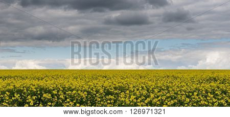 A field of Rapeseed (Brassica napus), also known as rape, oilseed rape, rapa, rappi, and rapaseed, under a sky filled with stormy clouds.