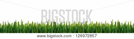Fresh green grass panorama isolated on white background. Green grass isolated pattern for banner, decoration, advertising. Concept of environmental conservation, growth, spring, freshness, wild nature