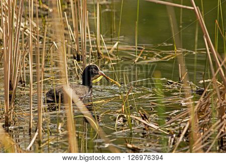 Early springaprilon the pond coot (Fulica tra) collects dry reed nesting. Horizontal view