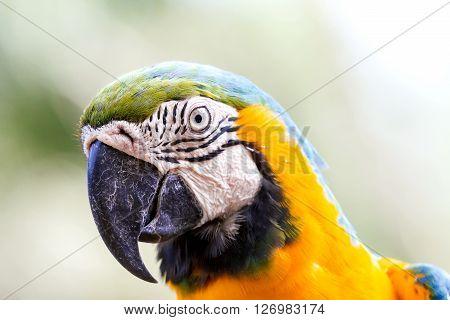 Blue-and-yellow macaw (Ara ararauna) big clever bright parrot.