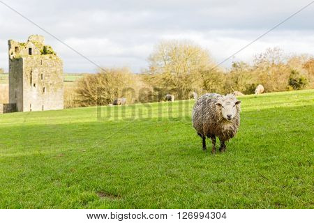 Photo of sheeps on green irish meadow and ruins of Kells Priory
