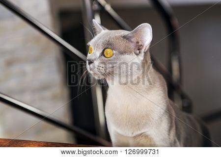 Portrait of the grey Burmese female cat