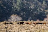 free ranging cattle graze in the foothills of california's san joaquin valley poster