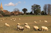 jacob and other sheep grazing on a field near the village church **Note slight blurriness, best at small sizes. poster