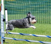 Miniature Schnauzer Leaping Over a Jump at Dog Agility Trial poster
