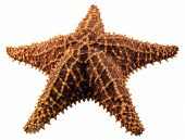 a close-up of a star fish isolated on a white background. poster