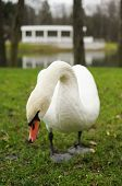 Swans on a pond in deserted city park in autumn poster